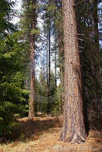 ponderosa-pines-5755785